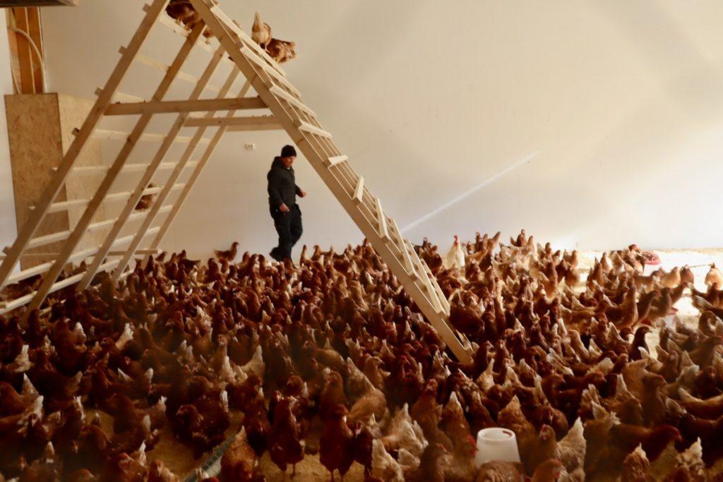 Martin har ikke bare ei høner å plukke han er 1 av 3 haner i flokken