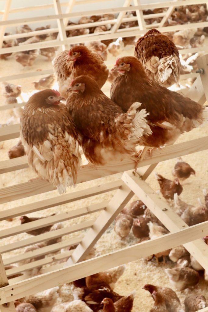 5 høner har funnet seg til rette i vaglen