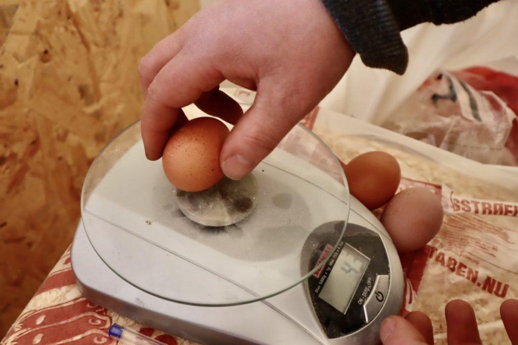 Hvert egg veies i starten